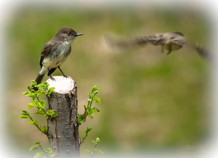 Eastern Phoebe Photograph  - Eastern Phoebe Fine Art Print