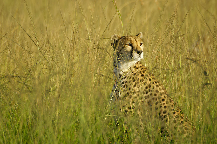 Michele Burgess Elegant Cheetah Fine Art Prints and Posters for Sale