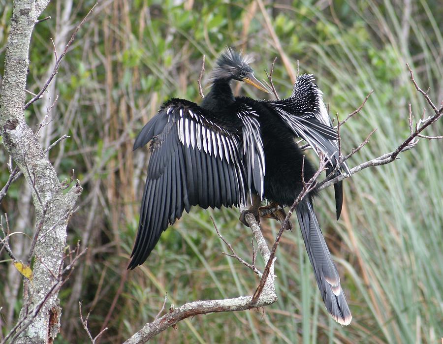 Exotic Anhinga Photograph