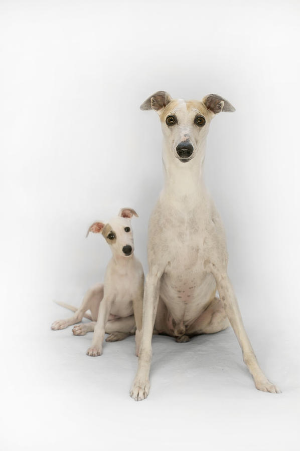 Father And Son Whippets Photograph