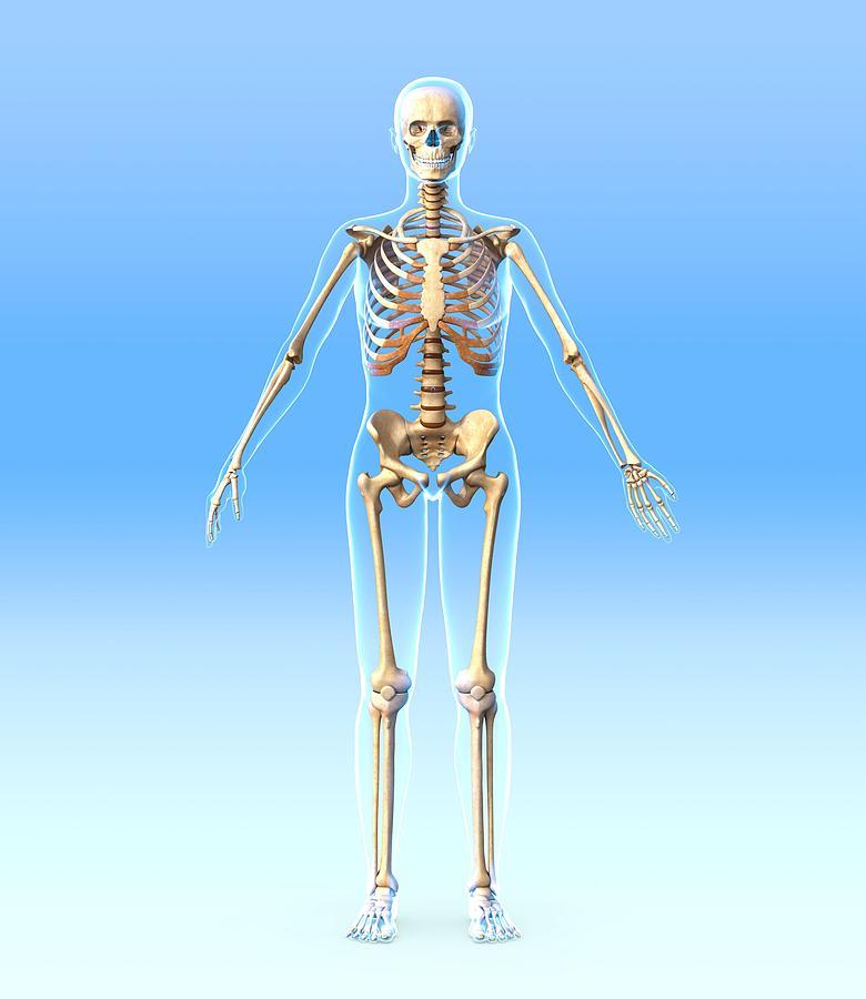 Female Skeleton, Artwork Photograph