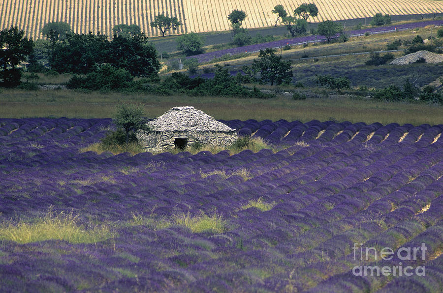 Field Of Lavender. Sault Photograph