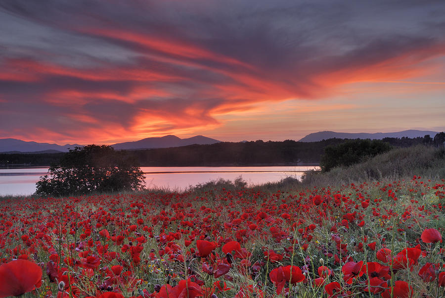 Field Of Poppies Photograph