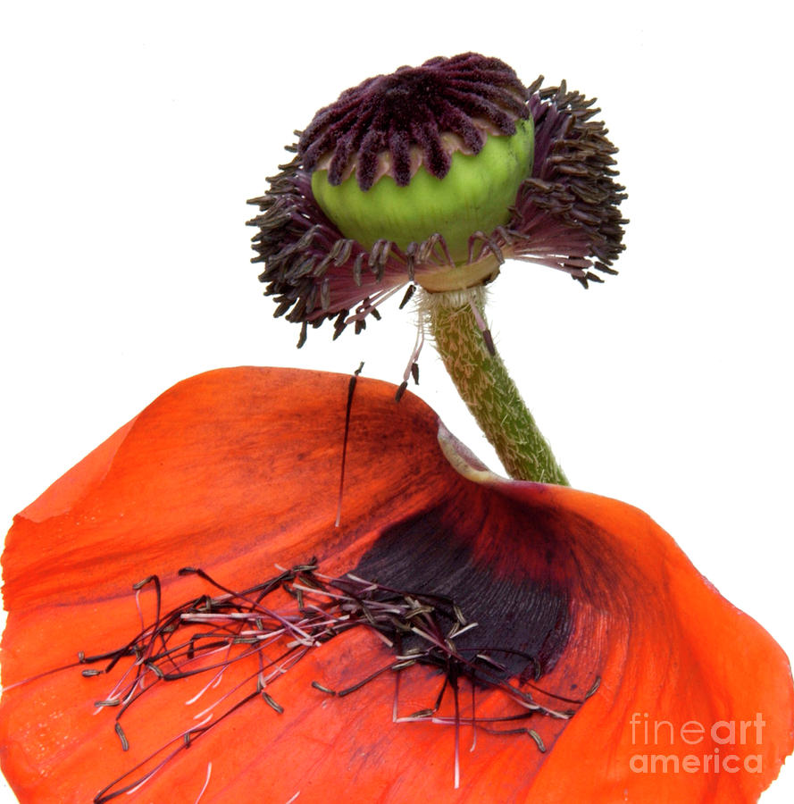 Flower Poppy In Studio Photograph