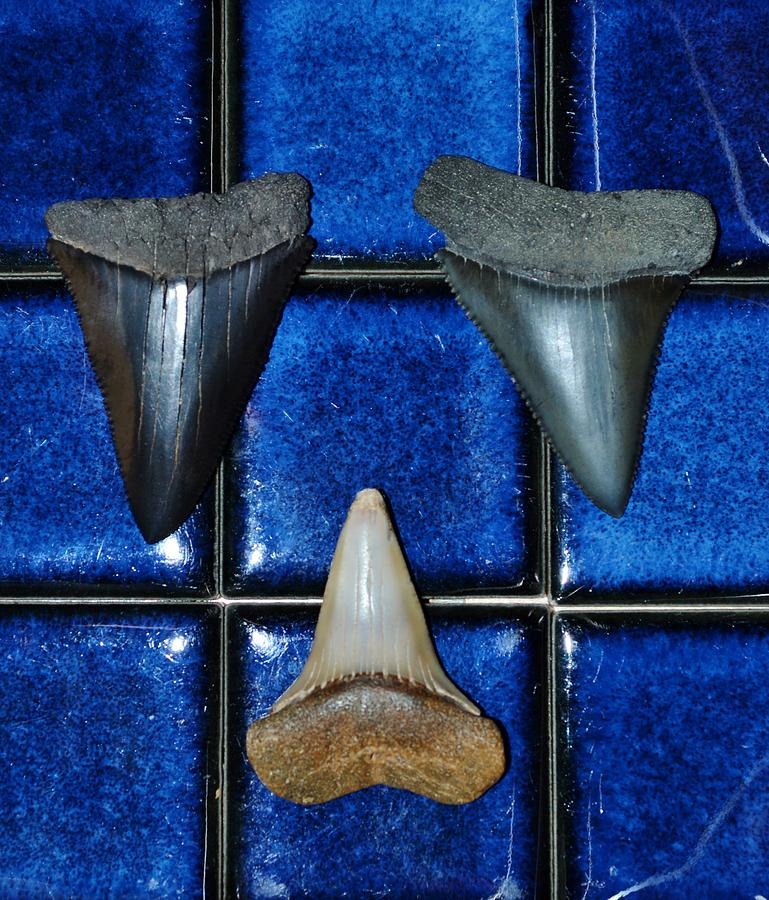 Fossil Great White Shark Teeth Photograph  - Fossil Great White Shark Teeth Fine Art Print
