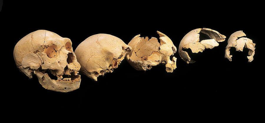 Fossilised Skulls, Sima De Los Huesos Photograph