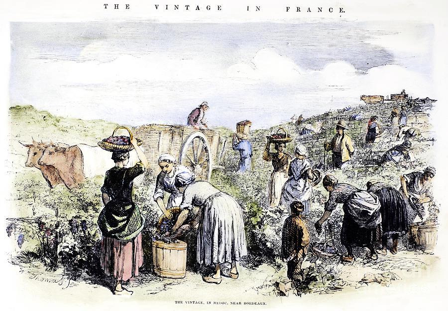 France: Grape Harvest, 1854 Photograph