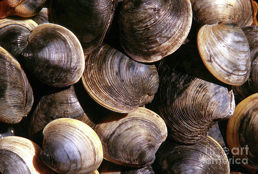 Fresh Clams Photograph  - Fresh Clams Fine Art Print
