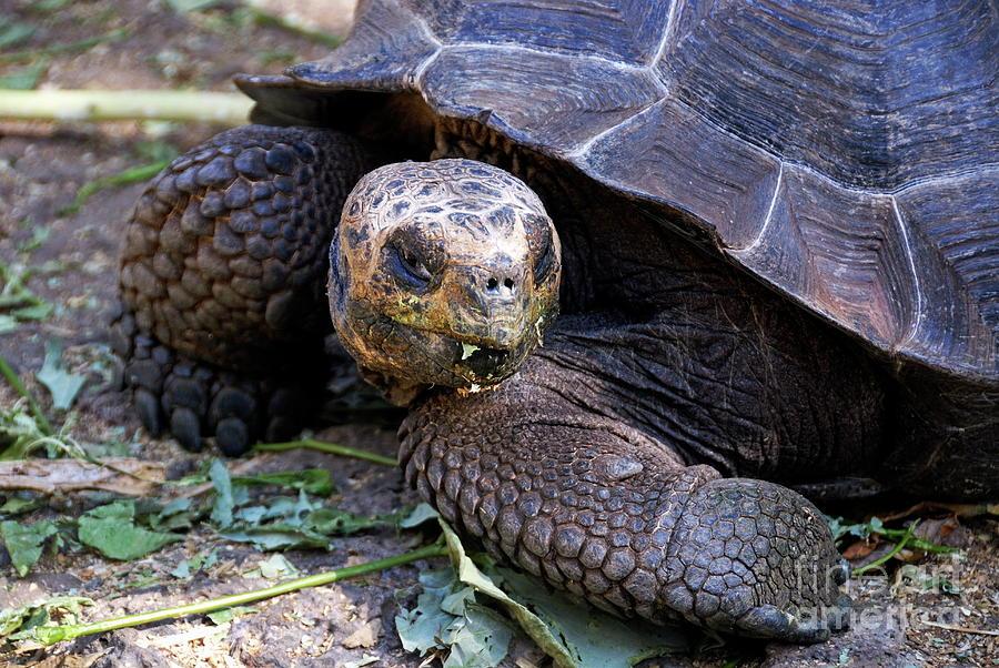 Galapagos Giant Tortoise Photograph