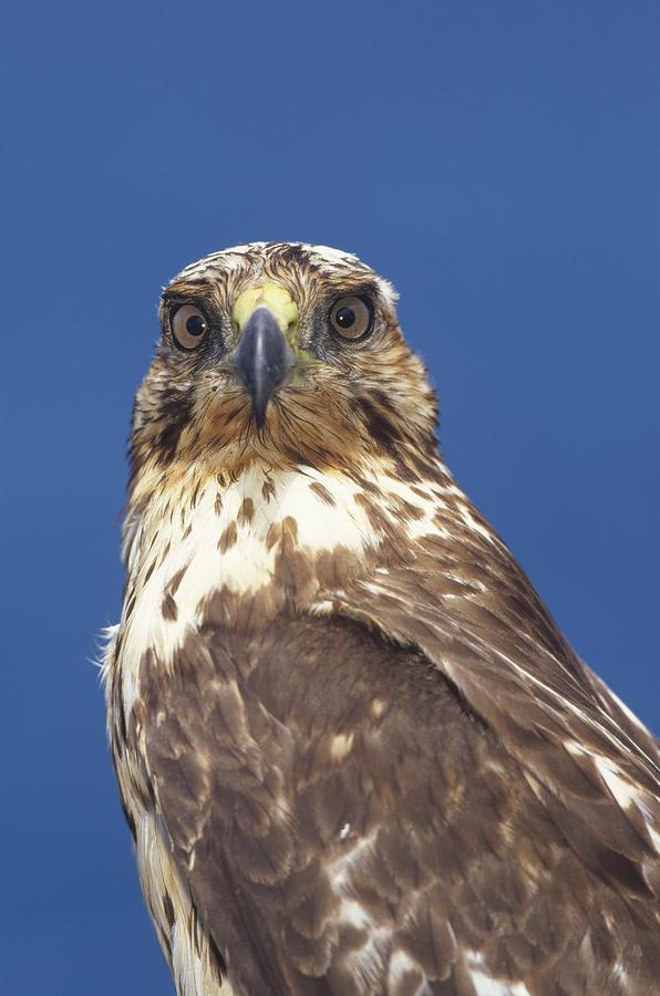 Galapagos Hawk Buteo Galapagoensis Photograph