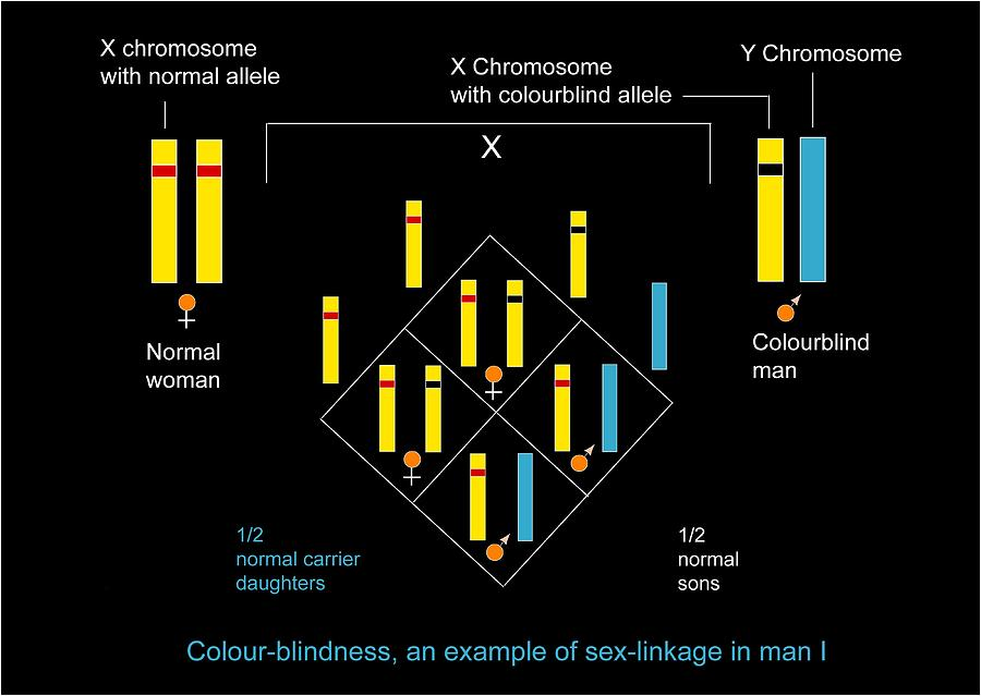 Colour Blindness Photograph - Genetics Of Colour Blindness, Diagram by Francis Leroy, Biocosmos