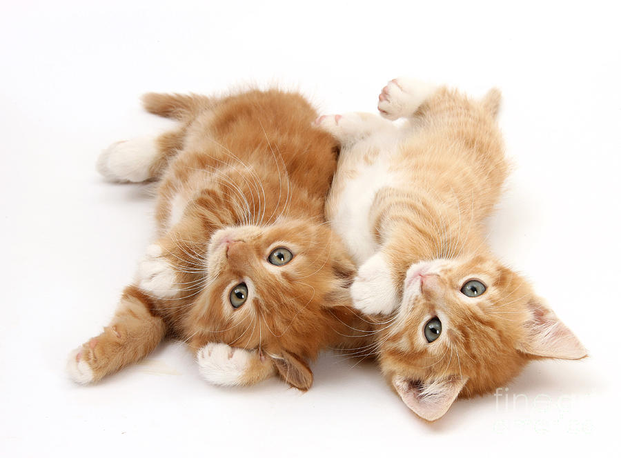 Animal Photograph - Ginger Kittens by Mark Taylor