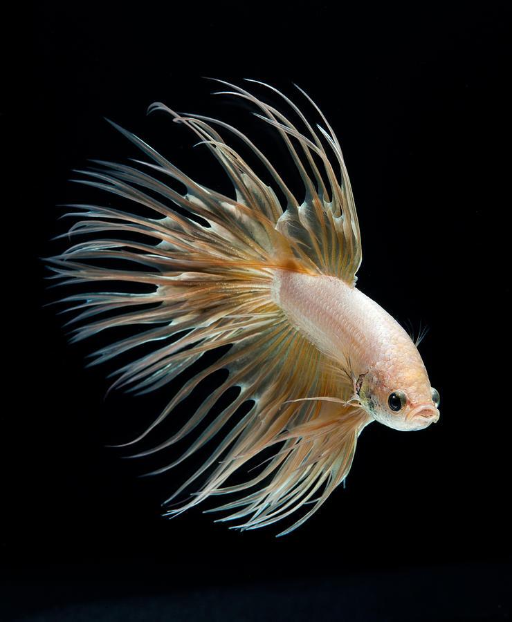 Betta fish dec 31 2012 08 02 43 picture gallery for Prettiest betta fish