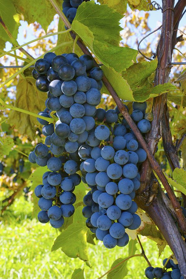 Grapes On A Vine Sutton Junction Quebec Photograph