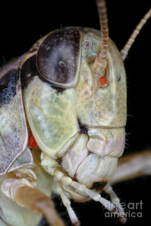 Grasshopper With Parasitic Mite Photograph