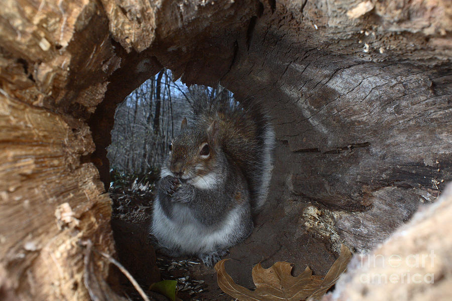 Gray Squirrel Photograph  - Gray Squirrel Fine Art Print