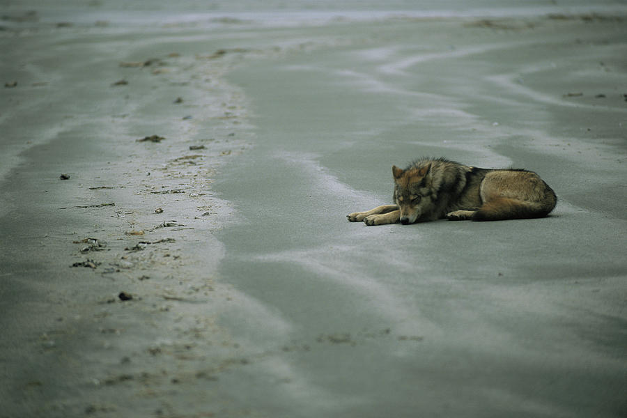 Gray Wolf On Beach Photograph  - Gray Wolf On Beach Fine Art Print