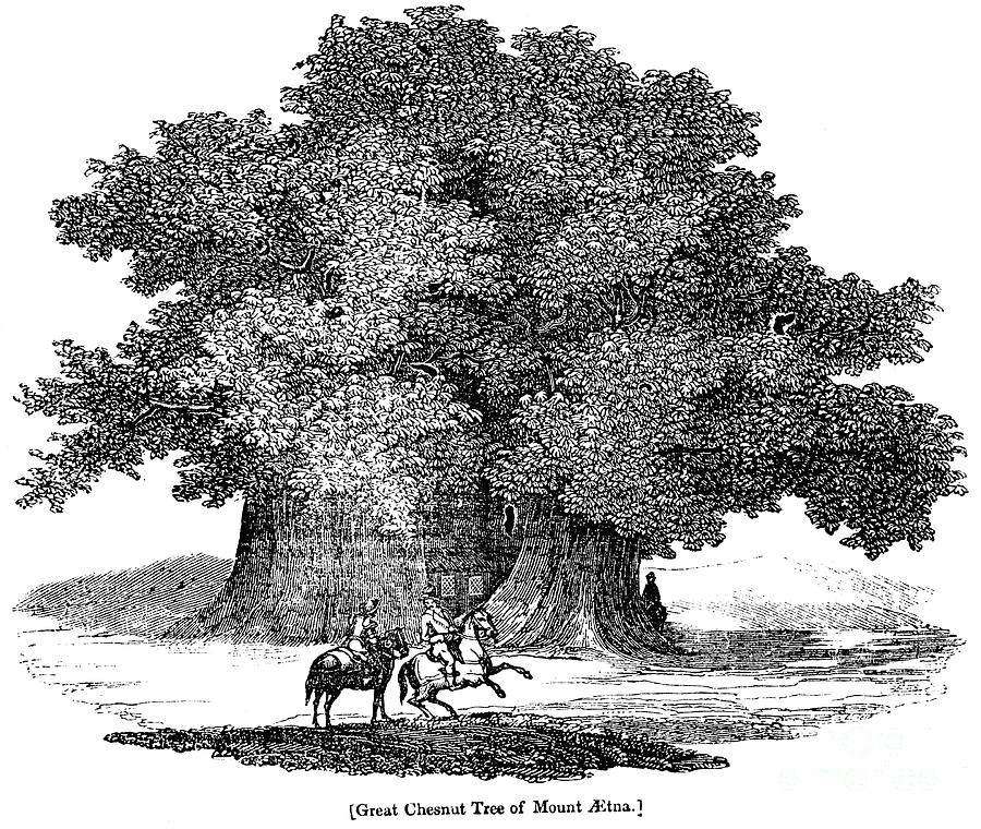 Great Chestnut Tree Photograph