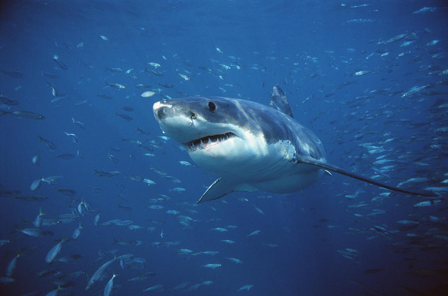 Great white shark carcharodon is a photograph by mike parry which was