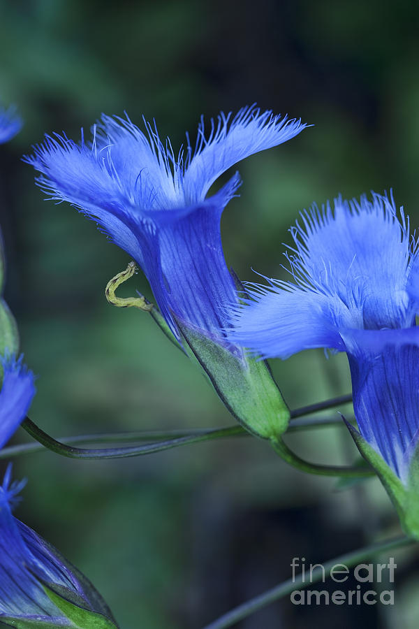 Greater Fringed Blue Gentian Photograph  - Greater Fringed Blue Gentian Fine Art Print