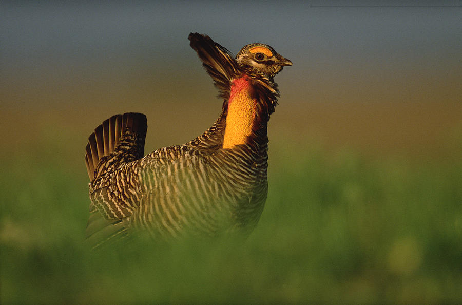 00171906 Photograph - Greater Prairie Chicken Male by Tim Fitzharris