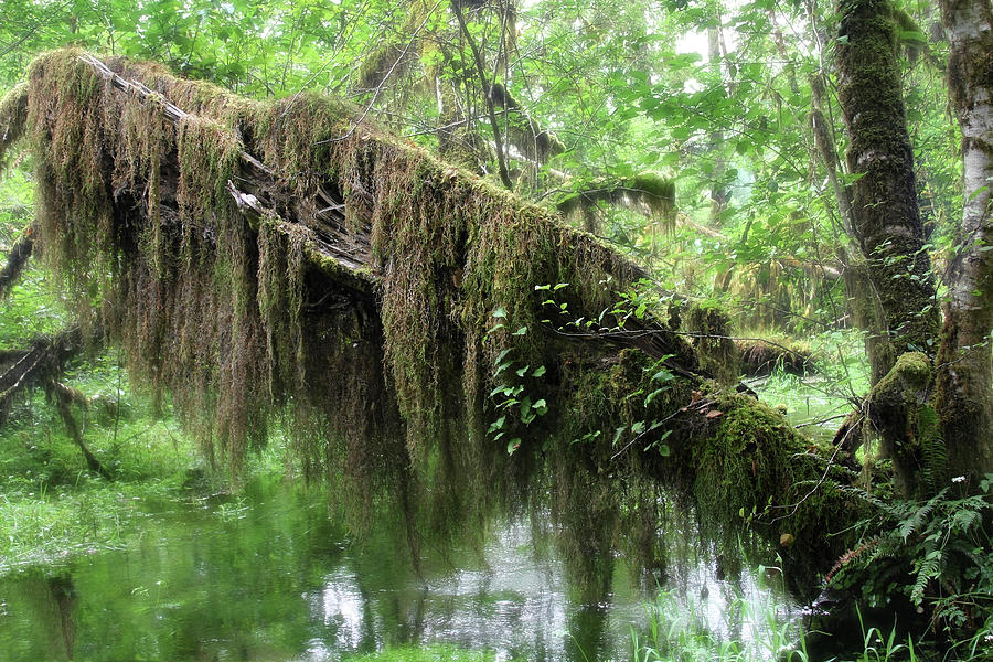 Hall Of Mosses - Hoh Rain Forest Olympic National Park Wa Usa Photograph