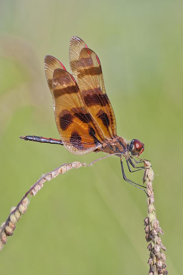 Halloween Pennant Dragonfly Photograph - Halloween Pennant Dragonfly At Lacassine by Bonnie Barry