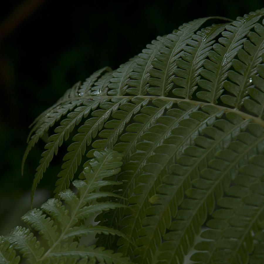 Hapuu Pulu Hawaiian Tree Fern  Photograph