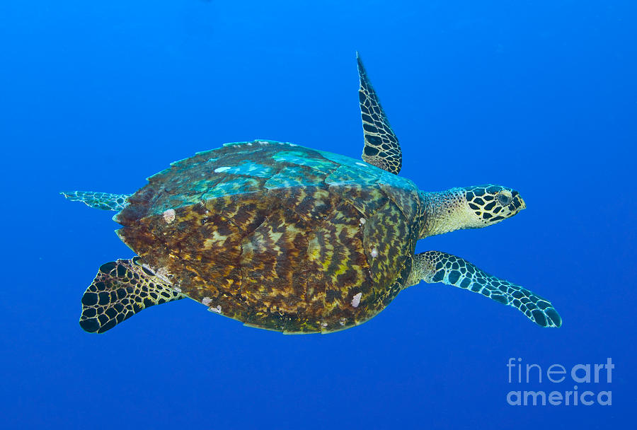 Hawksbill Sea Turtle, Kimbe Bay, Papua Photograph