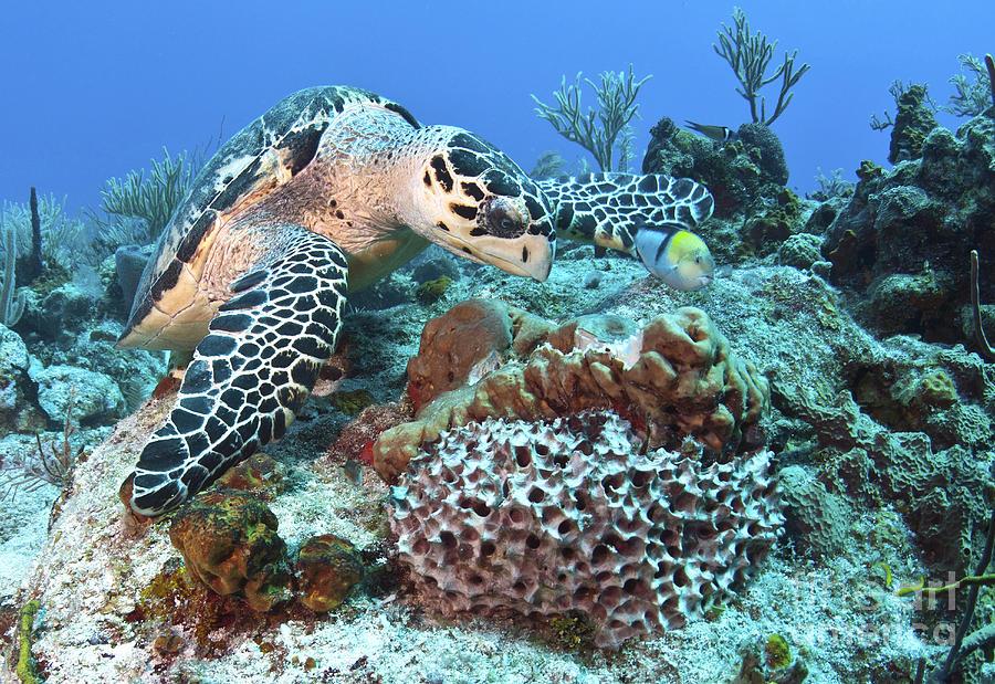 ... Reef Photograph - Hawksbill Turtle Feeding On Sponge by Karen Doody