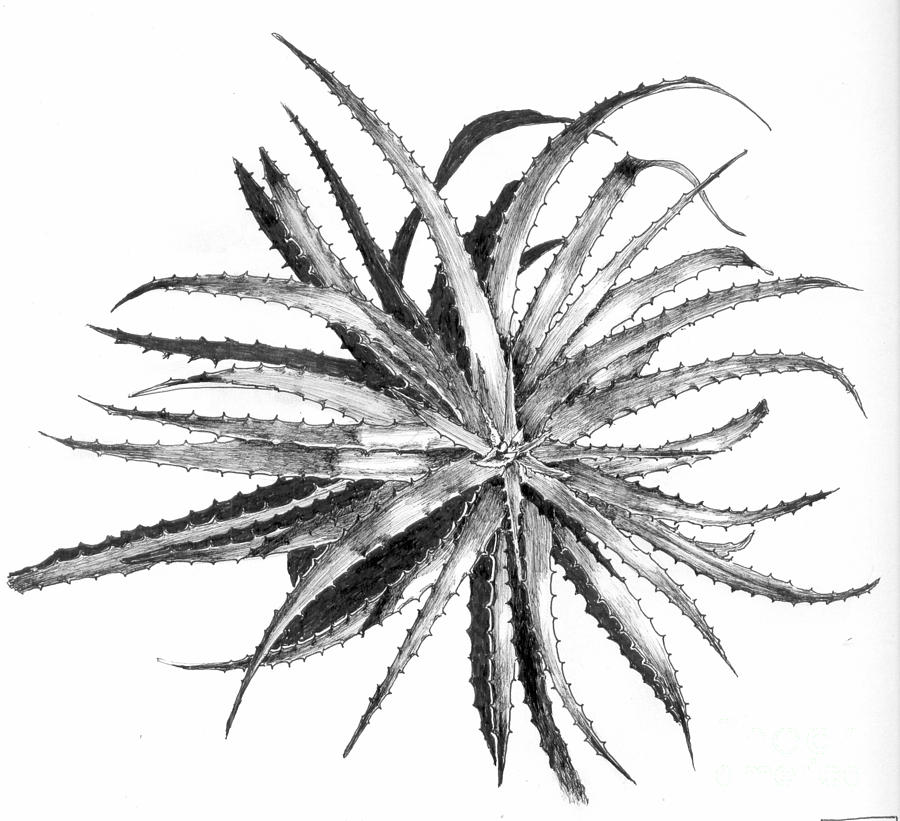 Hechtia Argentea Drawing