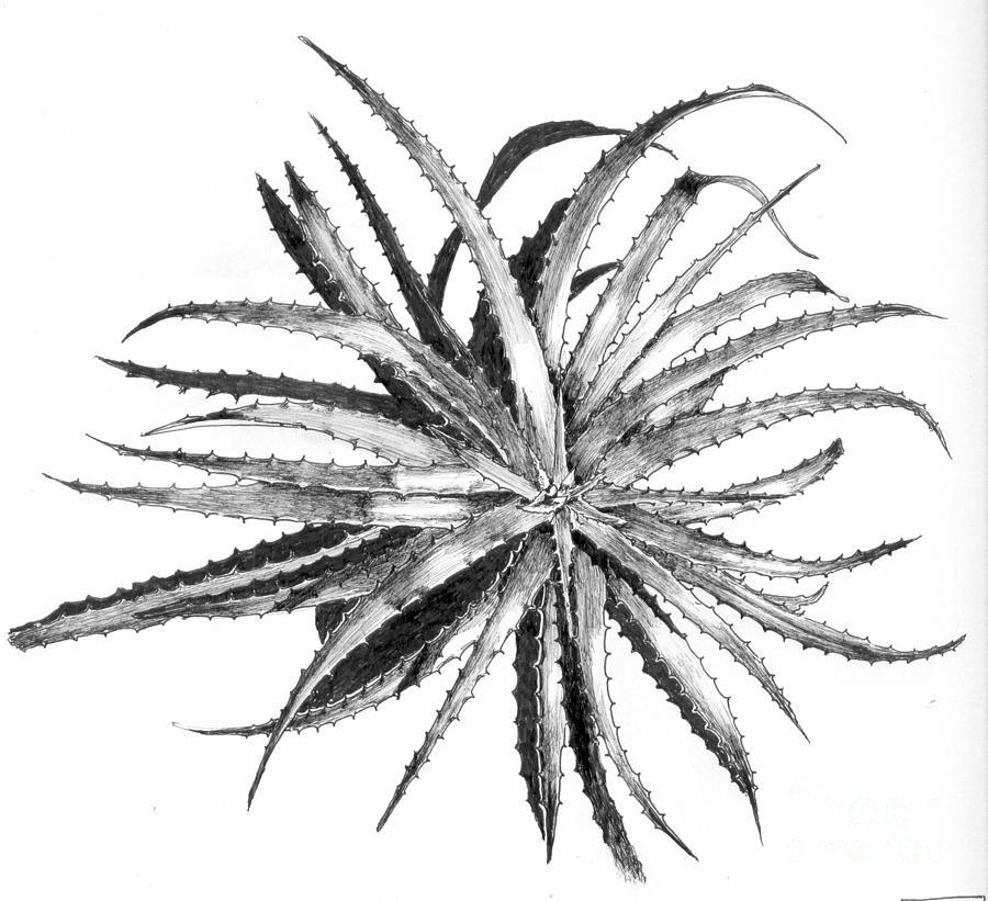 Bromeliad Drawing - Hechtia Argentea by Penrith Goff