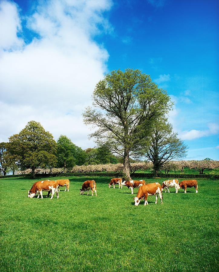 Hereford Bullocks Photograph