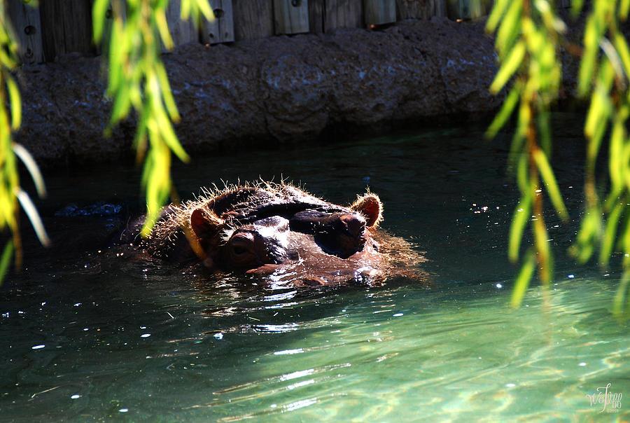 Hippo Photograph