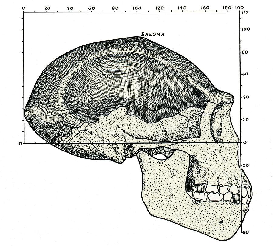 Java Man Photograph - Homo Erectus Skull by Sheila Terry