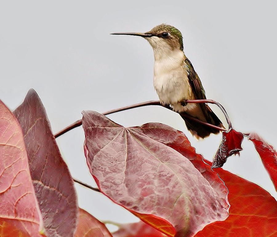 Hummingbird Photograph - Hummingbird by Paulette Thomas