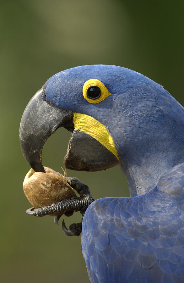 Mp Photograph - Hyacinth Macaw Anodorhynchus by Pete Oxford