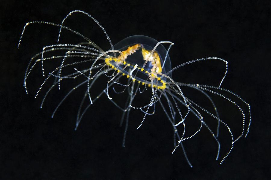 Gonionemus Vertens Photograph - Hydrozoan Medusa by Alexander Semenov