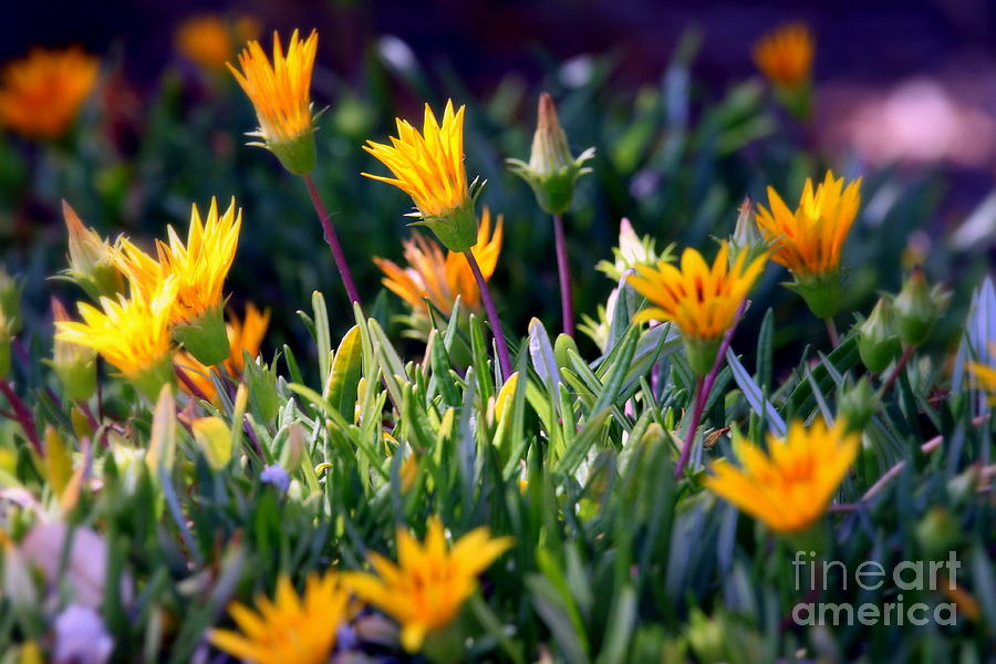 carpobrotus Chilensis Photograph - Ice Plant by Henrik Lehnerer