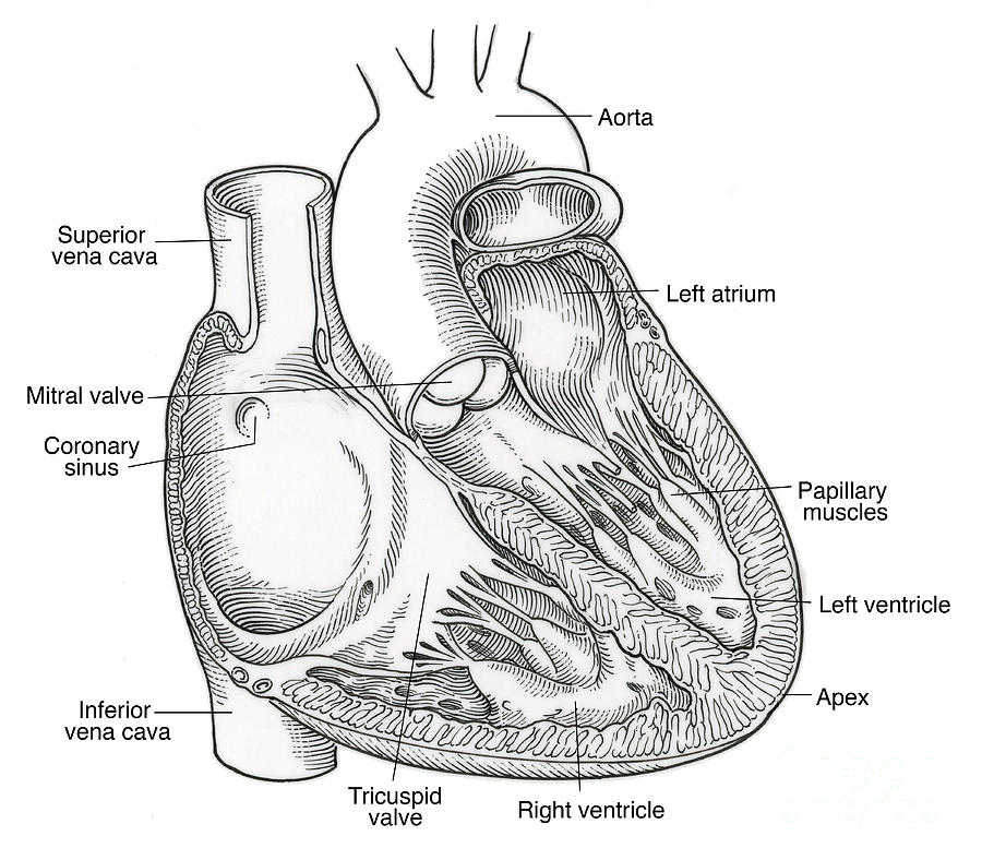 Illustration Of Heart Anatomy Photograph