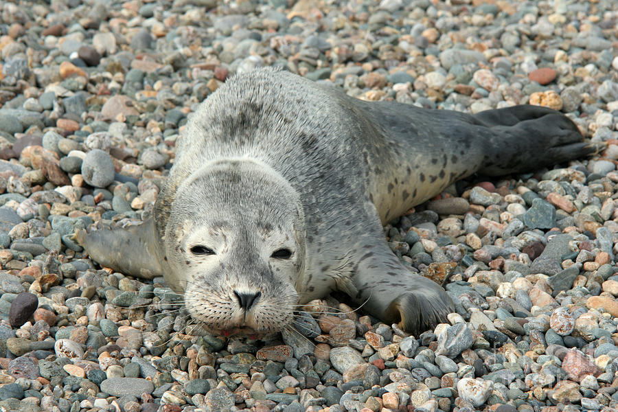 Injured Harbor Seal Photograph