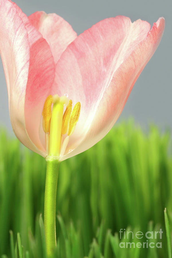 April Photograph - Inside Of A Pink Tulip by Sandra Cunningham