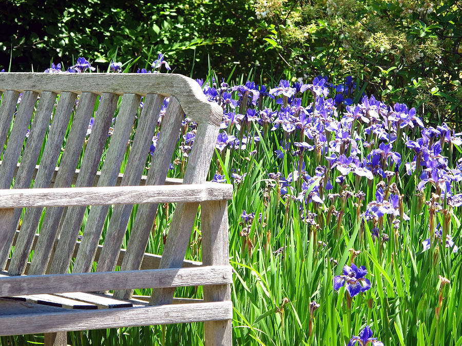Irises  Photograph
