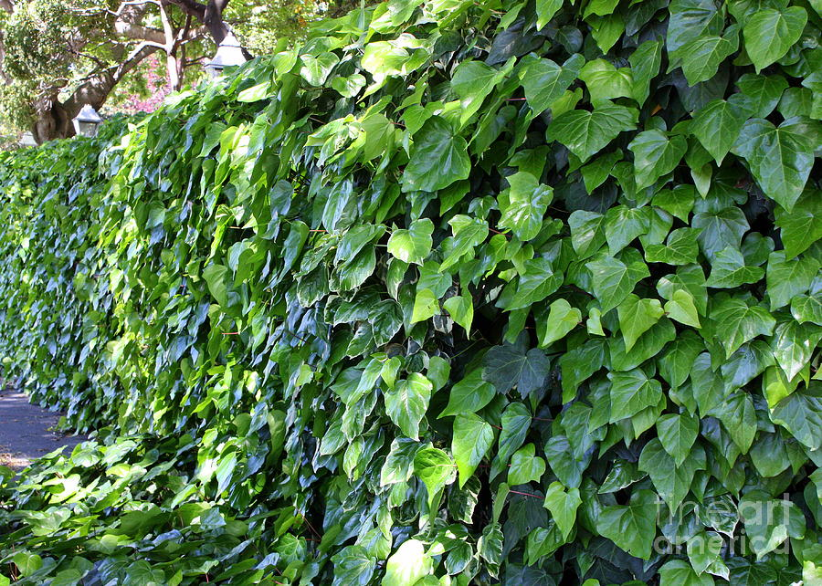 Ivy Photograph - Ivy Wall by Carol Groenen
