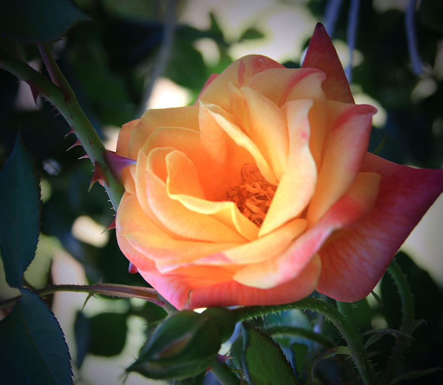 Jacobs Rose Photograph