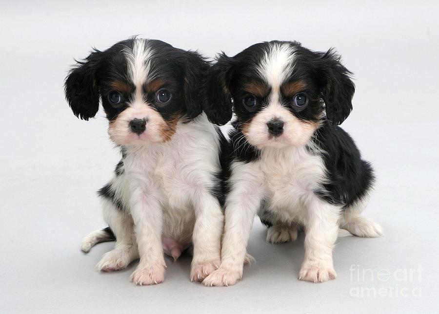 King Charles Spaniel Puppies Photograph