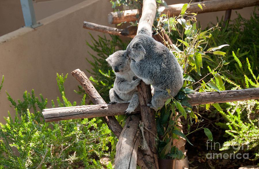 Koala Digital Art