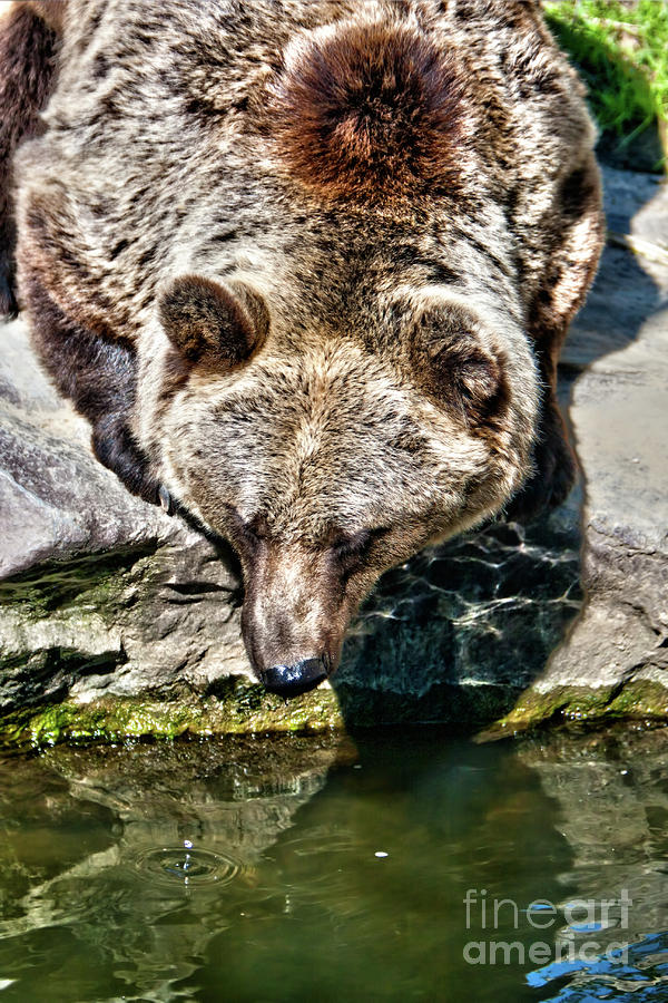 Kodiak Bear Photograph  - Kodiak Bear Fine Art Print