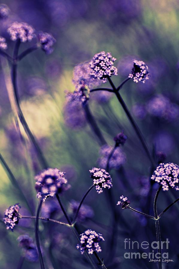 Lavender Garden IIi Photograph