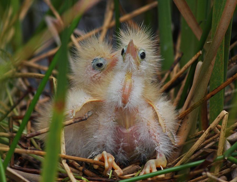 Least Bittern Chicks Photograph by Chuck Hanlon Least Bittern Baby